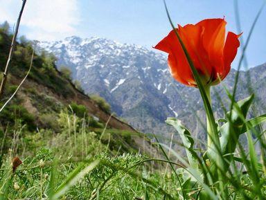 Тюльпаны и горы Самарканда