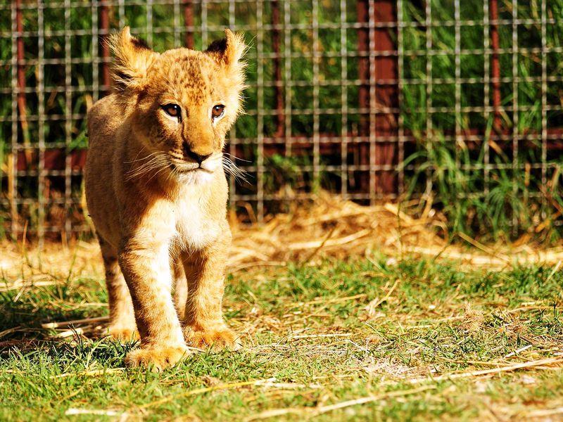 Сафари-парк «Тайган»: территория львов width=