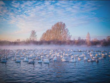 Лебединая сказка Алтая