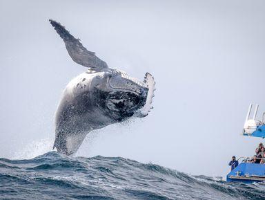 Вес счастья— 30тонн: встреча сгорбатыми китами