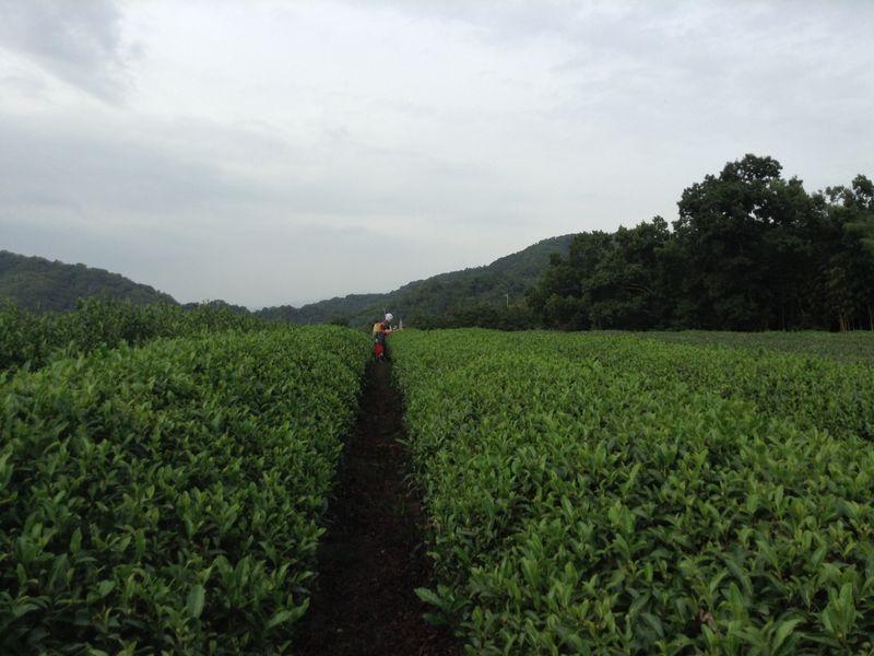 Изумрудная зелень майского чая: сбор первого урожая